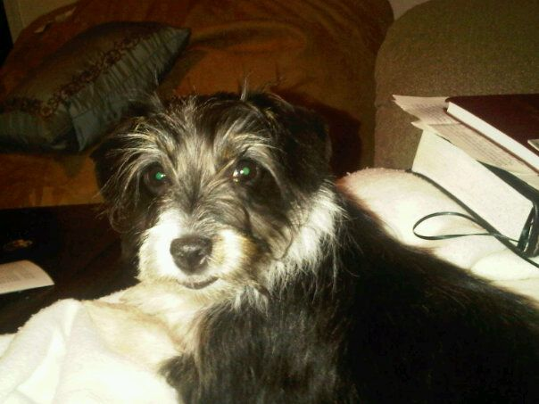 Rat Terrier/Poodle mix.... Oh my gosh... Its FREEWAY! <3