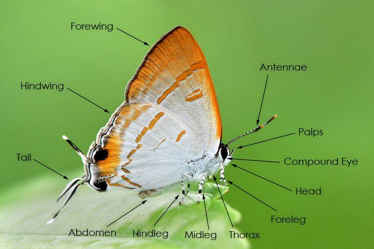 24 besten The Butterfly & Moth - Anatomy & Tutorials Bilder auf ...