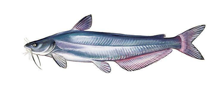 How Eating Blue Catfish Could Save the Chesapeake | Washingtonian