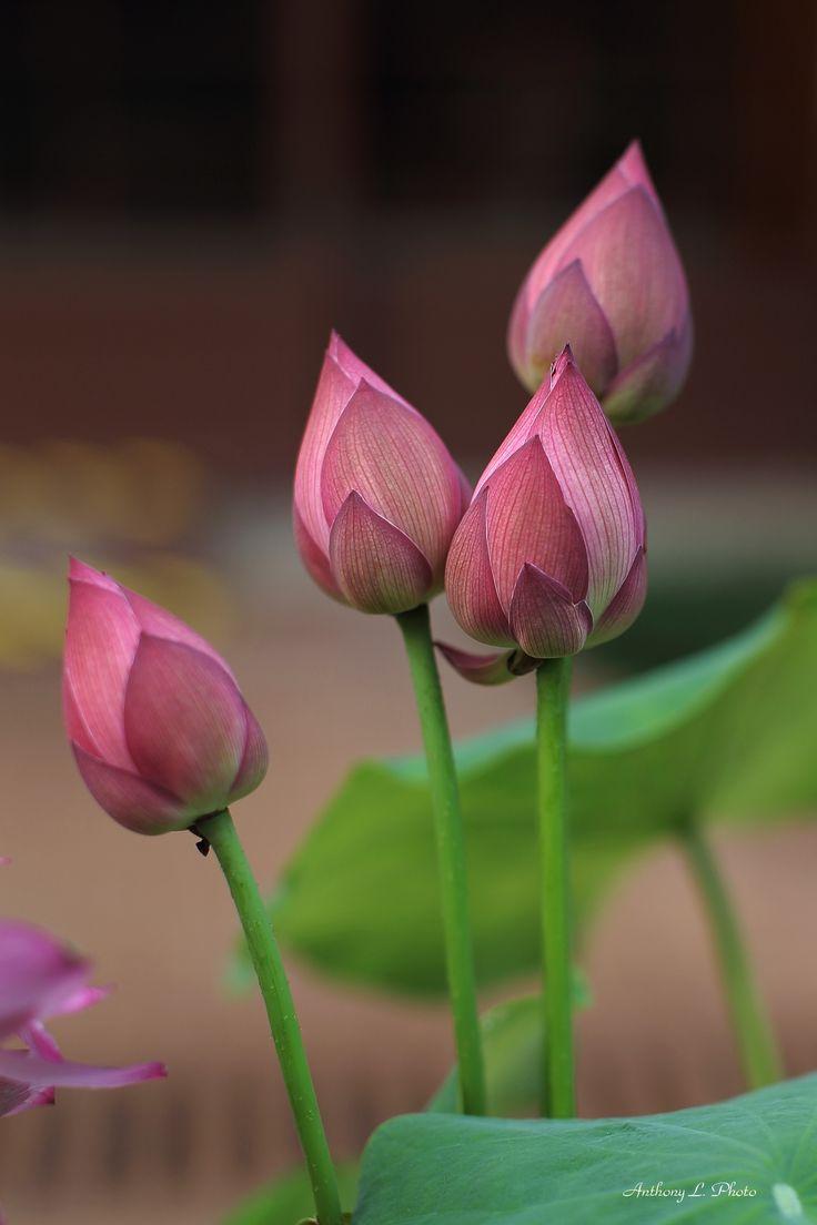 Nam Lian Garden, HK. - Lotus buds.