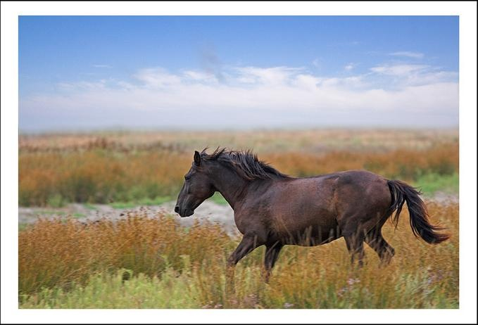Wild horse from Letea, Danube Delta