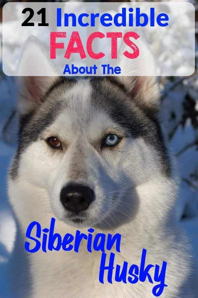 The Siberian Husky Is Becoming More And More Popular These