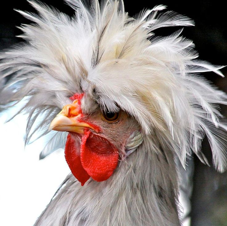 ✯ White Crested Blue Polish Cockerel