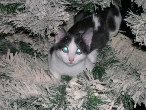 Kitty Kat Christmas Tree Climbing Derby | Catster cats christmas holiday christmas tree noel navidad http://www.meowganizer.com