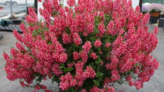 Diascia TOWERS OF FLOWERS® 'Dark Pink'