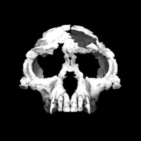 Cráneo de Ardiphitecus ramidus
