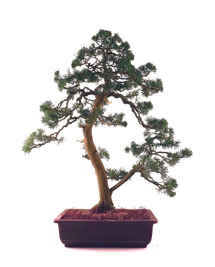 17 best images about bonsai on pinterest trees bonsai trees and maple bonsai. Black Bedroom Furniture Sets. Home Design Ideas