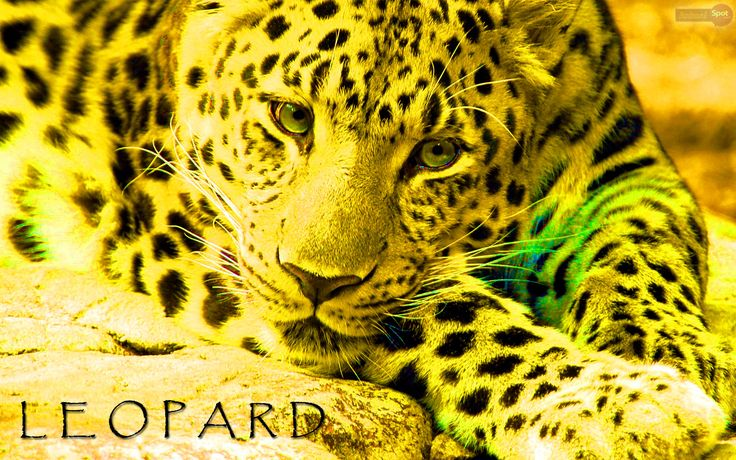 Best ideer om Leopard Wallpaper på Pinterest Dyretrykk
