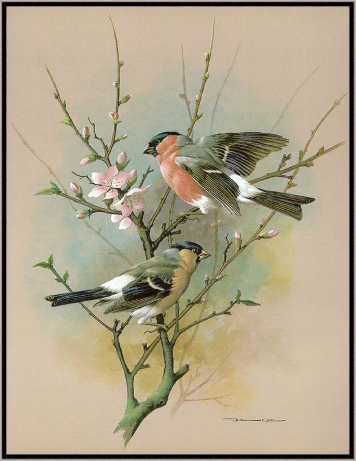 Коллекция картинок: Иллюстрации Василия Эде (Basil Ede). Птицы