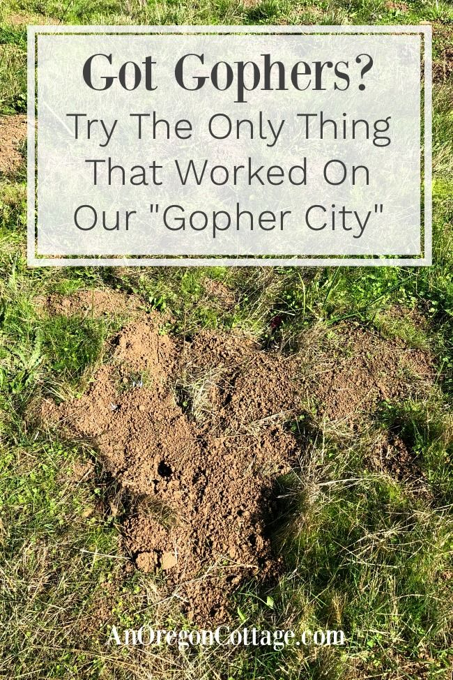 The One Way To Get Rid Of Gophers Consistently An Oregon Cottage Getting Rid Of Gophers Get Rid Of Groundhogs Gopher
