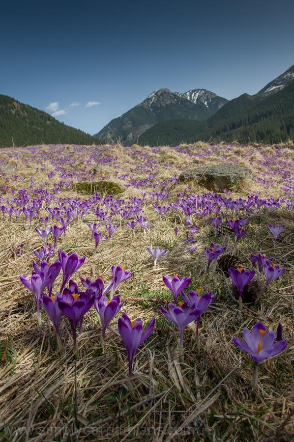 Crocuses in the Tatra Mountains / Krokusy w Tatrach,   Polana Chochołowska, Western Tatras