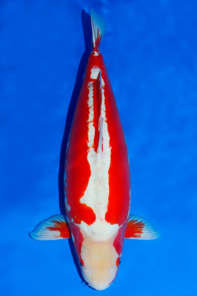 130 best images about koi name on pinterest the head for Goldfisch und koi