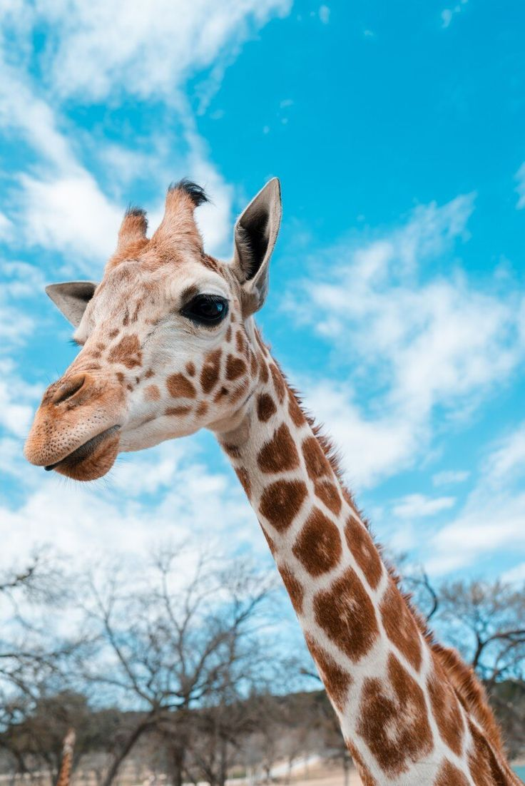 Inspiring Image in 2020 Giraffe pictures, Giraffe images