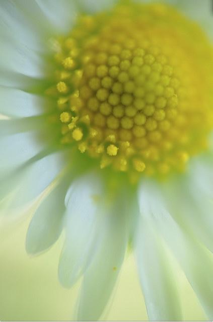 #daisy #macro #photography