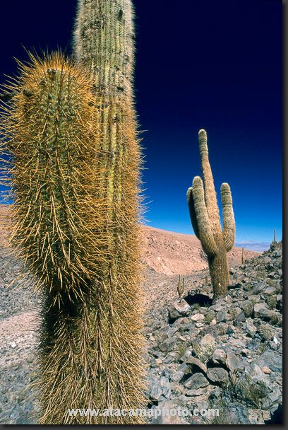 Giant Cardon cactus (Echinopsis atacamensis) are growing at 3500 meter altitude in the San Pedro de Atacama area