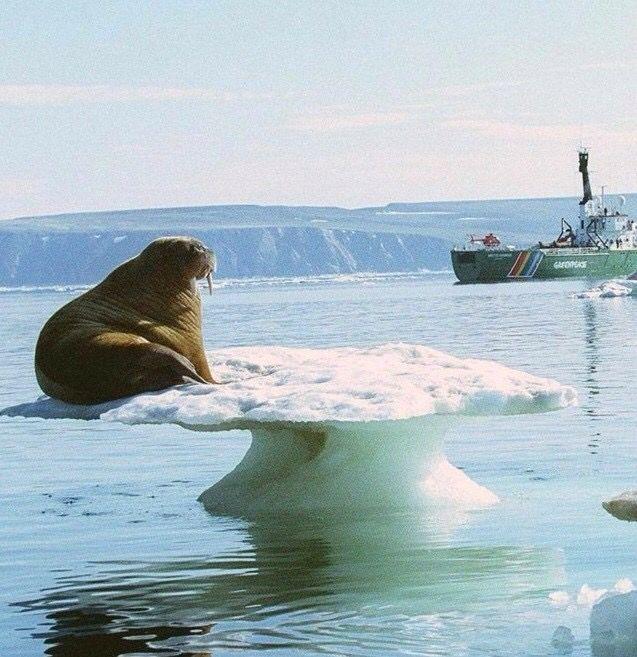 Mejores 46 imágenes de Walruses en Pinterest | Animales graciosos ...