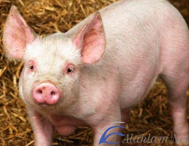 تفسير الخنزير في المنام