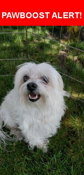 Is this your lost pet? Found in Olympia, WA 98513. Please spread the word so we can find the owner!  Found in Capitol City Golf Club neighborhood near Yelm Highway and College St.  Male Maltese. No collar. 10-12lbs.  Nearest Address: Near Armour Dr SE & 65th AVE SE