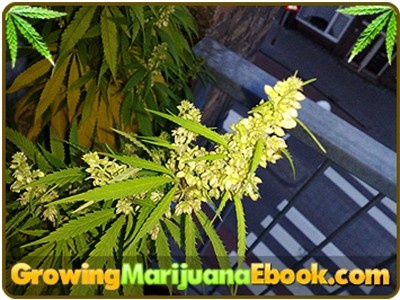 how to grow marijuana at home video