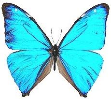 Seda-azul, corcovado, azulão (Morpho aega aega)    É a menor das borboletas de asas metálicas, alcançando cerca de 10 mm de envergadura. A fêmea pode ser de um azul menos brilhante, amarela ou amarelo-azulado. Os machos apresentam na face superior das quatro asas uma coloração azul metálica de brilho e intensidade inigualáveis. ..
