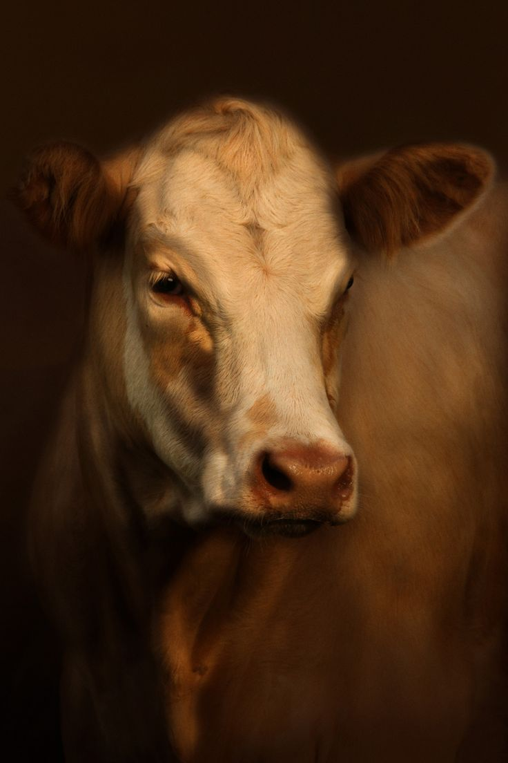 Portrait of a Murray grey cow in dramatic lighting by Cally Witham
