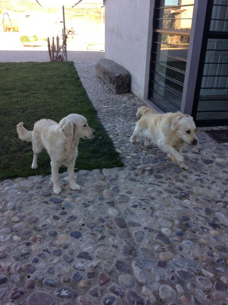 GODEN RETRIEVER CON PEDIGREE: VENTA DE CACHORROS CON PEDIGREE