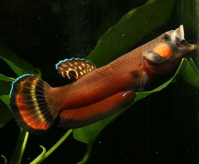 Betta fish in the wild - photo#42