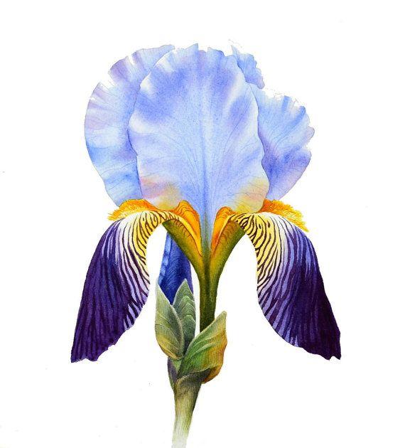 Iris ORIGINAL watercolor painting botanical art by Esperoart