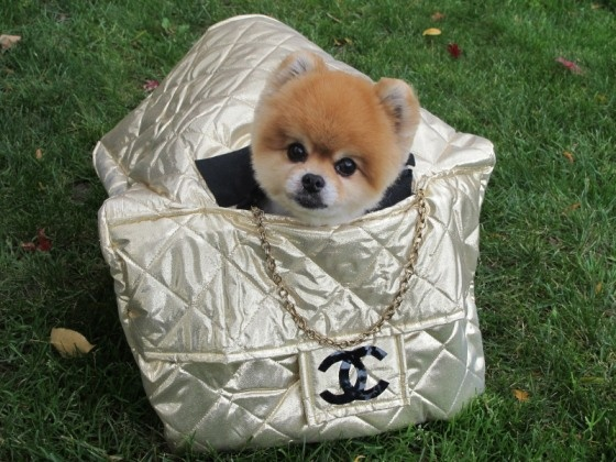 chanel puppy