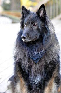 Belgian Tervuren / dogs