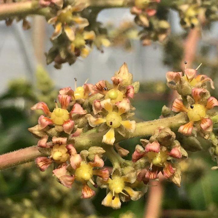 Mango flowers 完熟マンゴー【アーウィン種】の花。