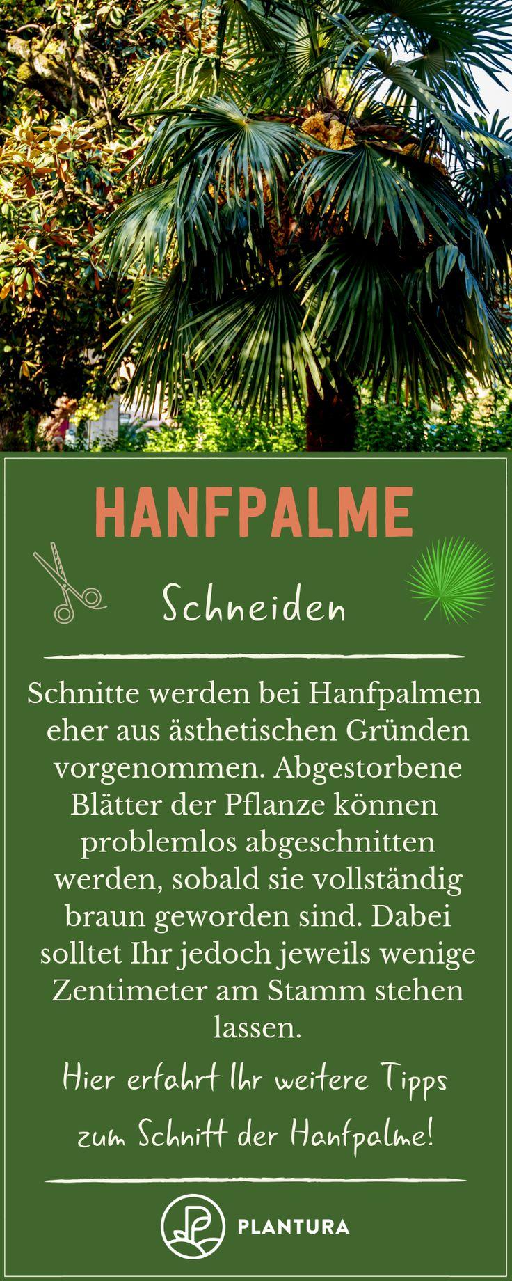 Hanfpalme Pflegen Profi Tipps Zum Dungen Schneiden Co Hanfpalme Pflanzen Pflegeleichte Pflanzen