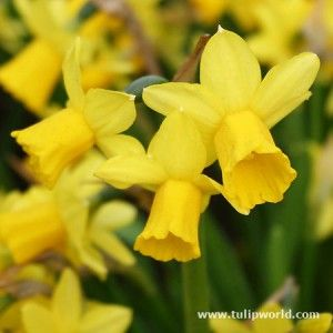 Dwarf Daffodils (Narcissus Tete-a-tete) Long lasting flowering bulb - early spring