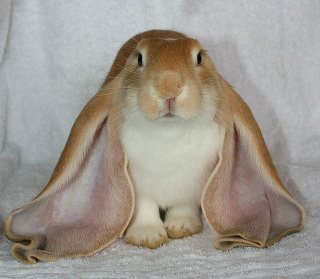 There are five reconized lop breeds English , French, Mini, Holland and Fuzzy Lop. This is English Lop.