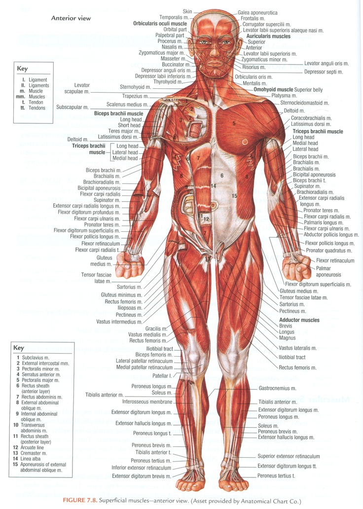 Muscles Of The Human Body  Superficial  Anterior View