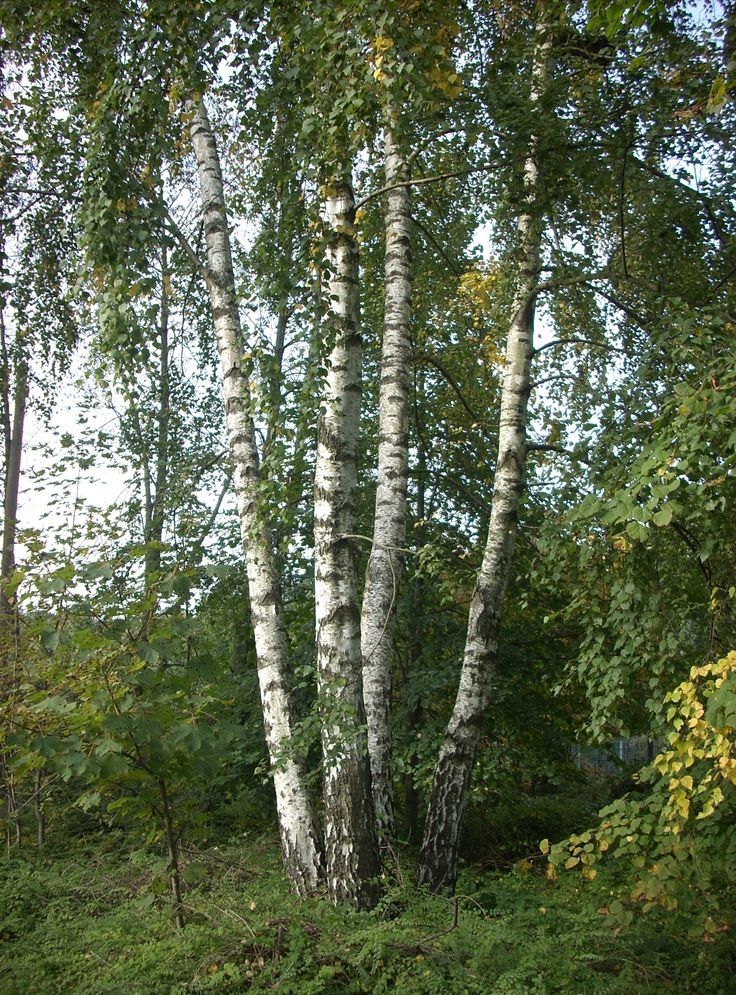 Scientific Name: Betula pendula Common Name: European White Birch Zone: 2-7 Height: 30-40 ft. Spread: 15-20 ft.