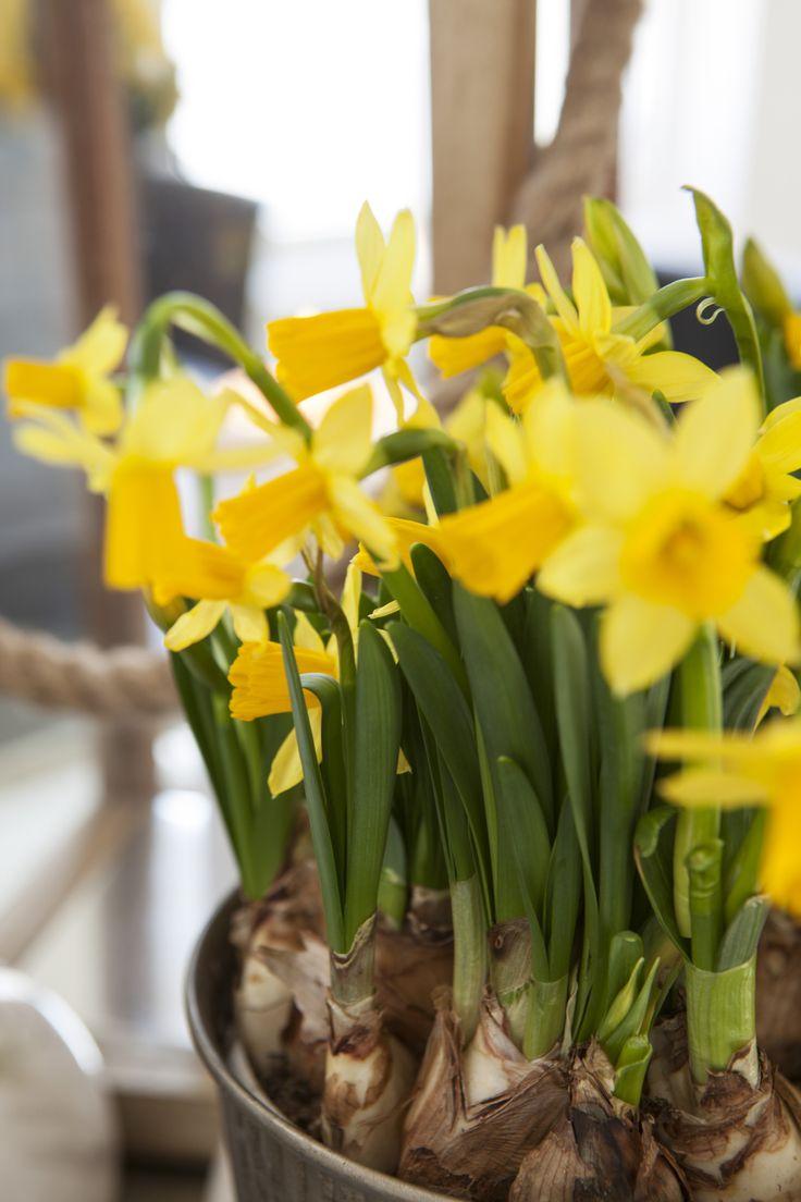 Narciss - påskeliljer