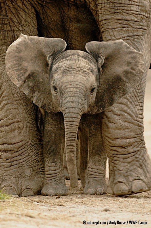 WWF    Elephant calves have to be pretty quick learners. They can stand within 20 minutes of birth and walk within 1 hour. Within 2 days they can keep up with their herd!    Tragically tens of thousands of African elephants are killed every year. Please help