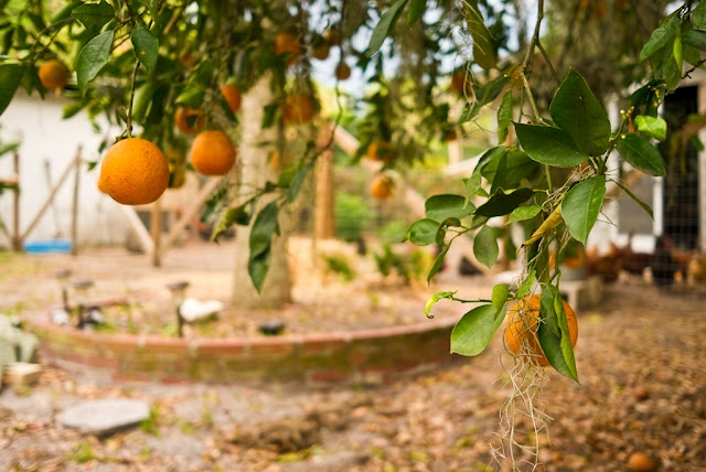 April 20, 2012. Low Hanging Fruit.    A little Florida sunshine to brighten your Monday morning with a little barnyard chicken bokeh thrown in.    Taken this past weekend, an Orange tree loaded with fruit bends just above the ground.    The shores of Lake Apopka, where this shot was taken, were home to some of the very first Florida orange groves planted in the 19th century.    Leica X1. 24.0 mm. 1/250. f/2.8. ISO 100. LR 2.