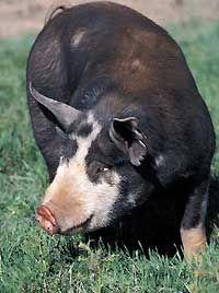 Berkshire Pig: Small Hobbies Farms, Pastur Pigs, Animals Pigs, Berkshir Pigs, Hobby Farms, Adult Pigs, Animales Homesteads, Small Farms, Heritage Pigs