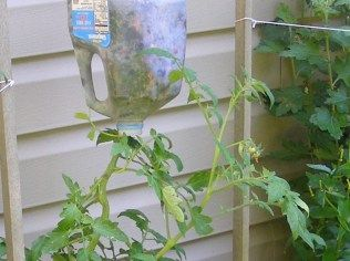 Milk jug upside down tomato planters