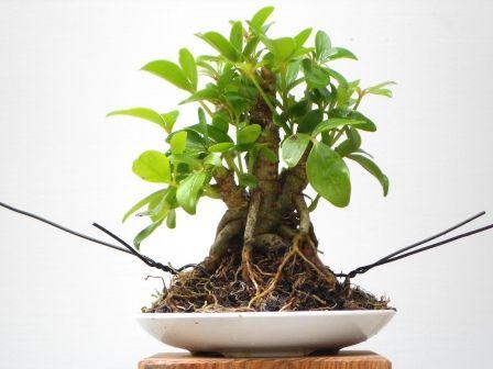 mini bonsai schefflera bonsai pinterest. Black Bedroom Furniture Sets. Home Design Ideas
