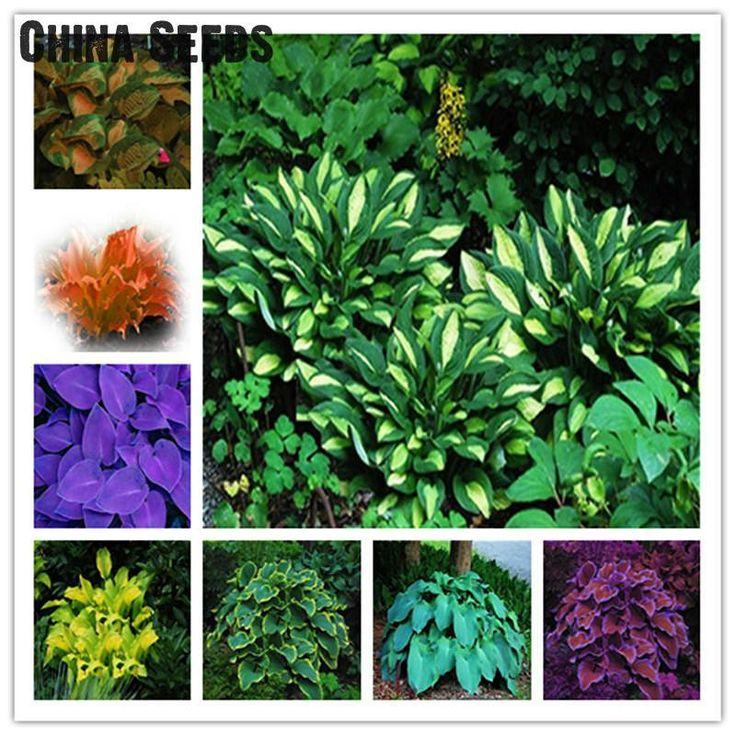 [Visit to Buy] A Packing 100pcs Hosta Seeds Bonsai Jardin Perennials Lily Flower Pot Seed . White Lace Diy Home Garden Ground Cover Plant Grass #Advertisement