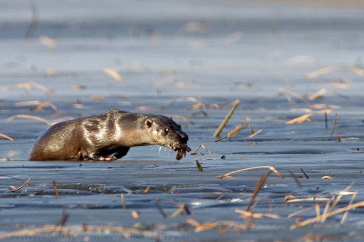 - Otter coming out from ice hole with fish, Biebrza Marshes - Poland