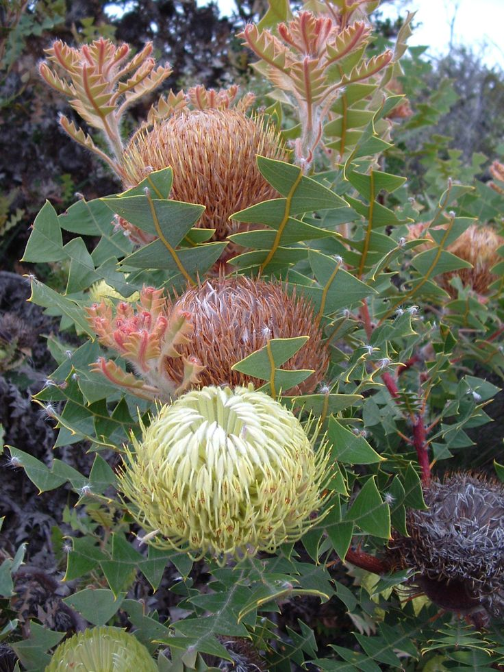 Birds Nest Banksia Banksia_baxteri - http://www.wanowandthen.com/w1.html