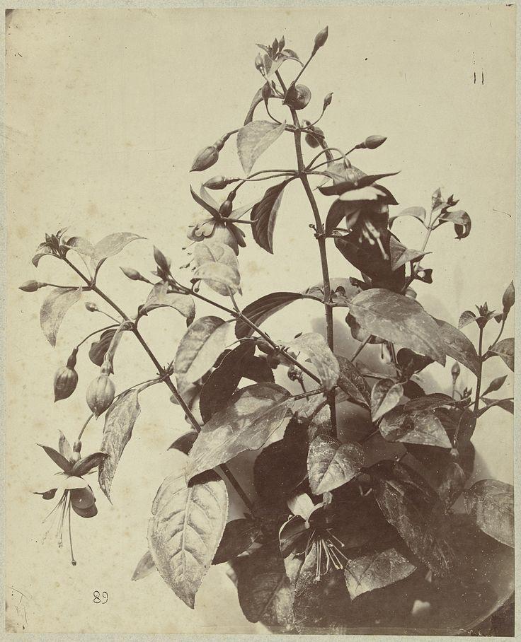 Flower still life with Fuchsia | Charles Aubry | 1860-1870 | Rijksmuseum | Public Domain