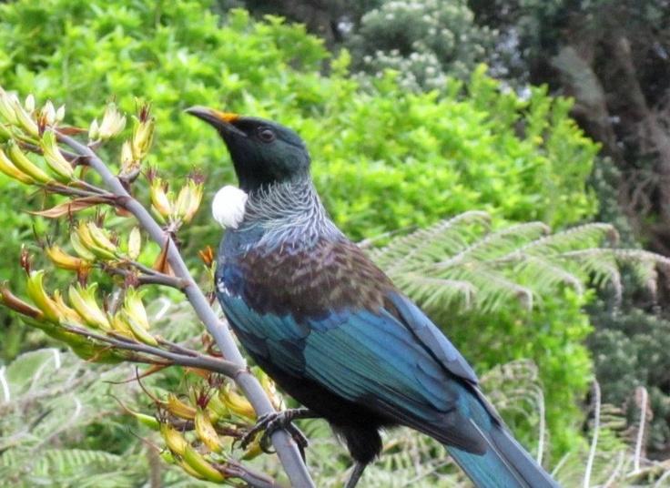 Tui  (New Zealand Native Bird)