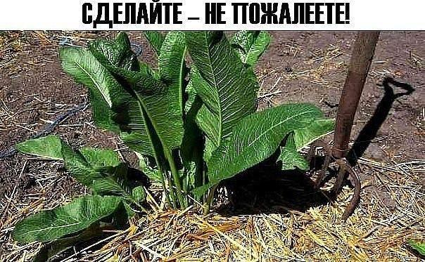 ХРЕН! СДЕЛАЙТЕ – НЕ ПОЖАЛЕЕТЕ. Единственное Растение, Способное Вытягивать Соль Через Поры Кожи. - Відображення