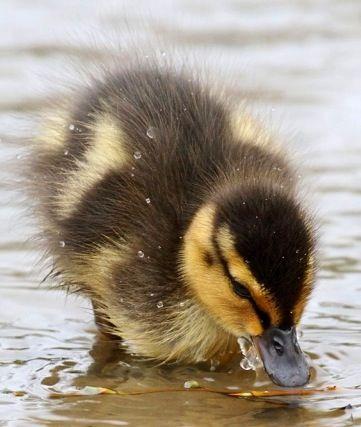 Too cute ducklings