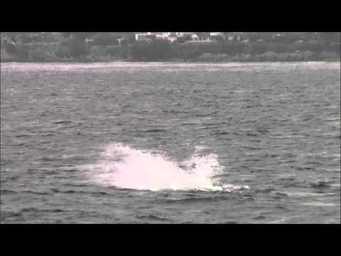 10.23.13 Orcas / Killer Whales & Humpback Whales Monterey, California #VisitCa http://chriswhalewatching.com/